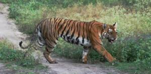 Tiger, Parambikulam Wildlife Sanctuary