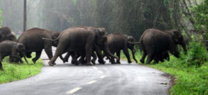 Elephants, Wayanad