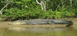 Bhitarkanika National Park- the land of crocodiles where men seem to be the underdog