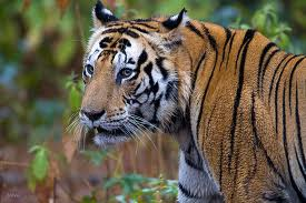 kanha tiger close