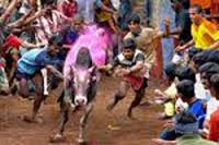 Jallikattu during Pongal