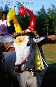 Cattle will be decorated and worshipped