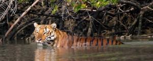 Tigers in sunderban