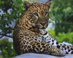Peechi Vazhanni Leopard