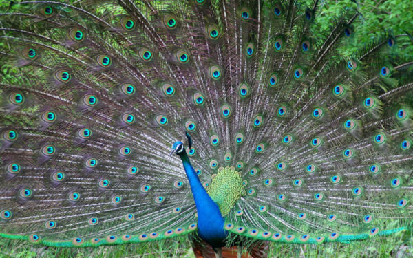 Peacock Sanctuary
