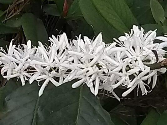 Coffee Plantation in full bloom