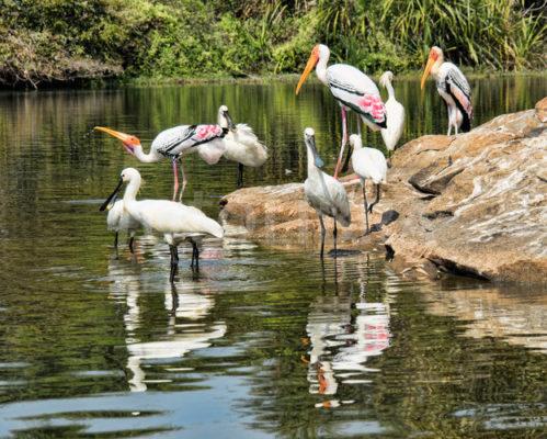 Winged visitors at Ranganatittu Bird Sanctuary