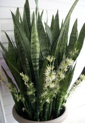 Sansevieria sp. (snake plant)
