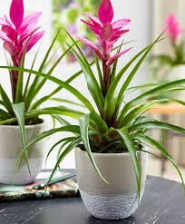 Tillandsia sp. (air plant)